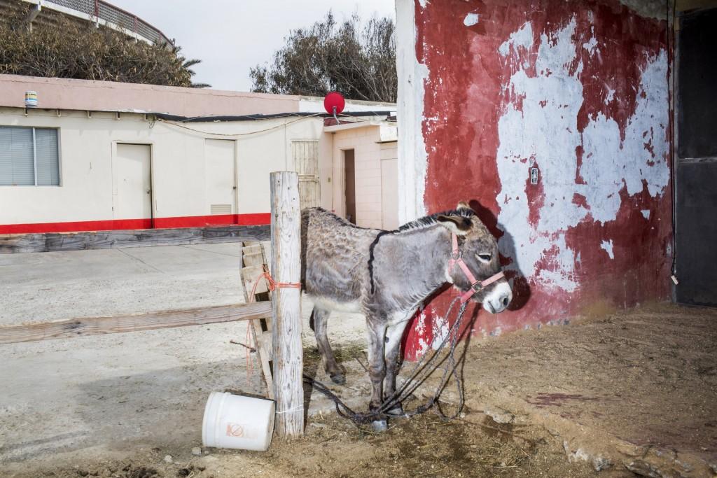TIJUANA, MX. - APRIL 5 2016: A donkey tied up near the border wall in Tijuana, Mexico. Natalie Keyssar