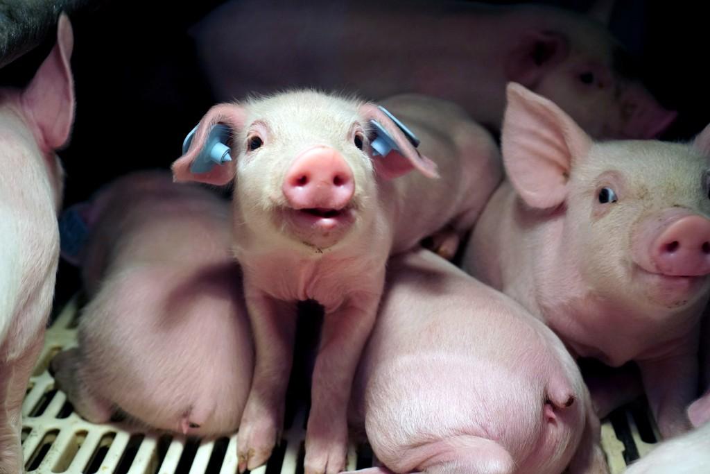 glenn-greenwald-Smithfield-Circle-Four-Farms-piglets-pigs-factory-pig-aminal-cruelty-abuse-02-1507064164