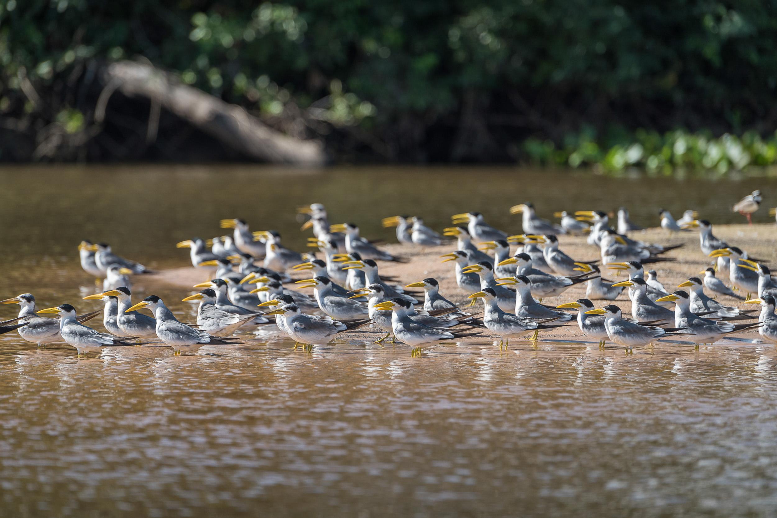 Assunto: trinta-reis (Phaetusa sp) - rio cuiabáLocal: Poconé-MTData: 05/2017Autor: Andre Dib